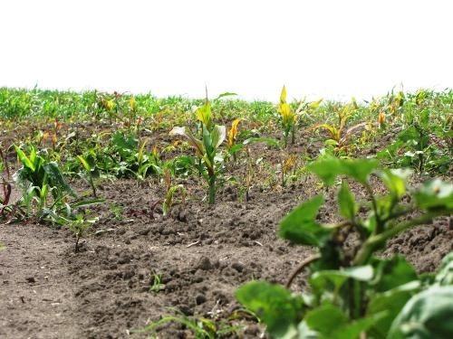 Află ce se întâmplă cu culturile agricole în luna iulie