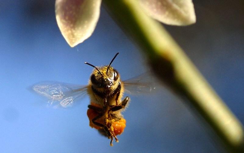 Veninul de albină, mai prețios ca mierea