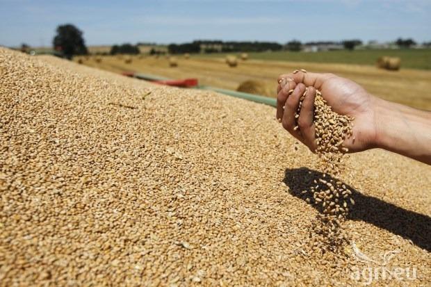 Recolta de grâu din acest an va scădea simţitor