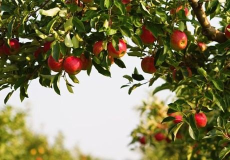 În Ucraina recolta de mere ajunge la 80 de tone la hectar