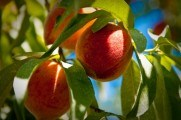 VIDEO. Roadă mare de piersici în acest an. O parte din fructe vor rămâne pe câmp