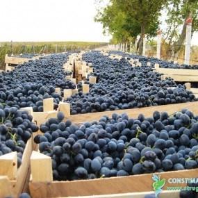 Cum se desfășoară campania de recoltare a strugurilor: Totul despre prețuri și piețele de export