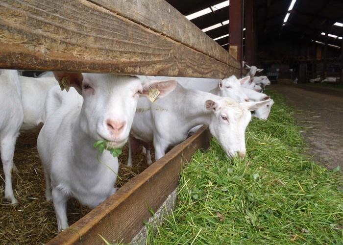 Cum alegem o capră bună de lapte