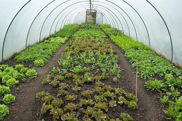 Află care sunt cele mai profitabile soiuri de salată
