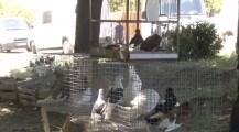 Expoziție de păsări și animale organizată în satul Iabloana