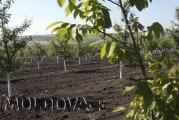 Nucile din Olișcani, solicitate în Franța