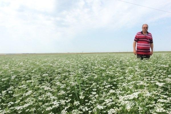 Cum se cultivă coriandrul – planta cu care fermierul Gheorghe Lămureanu recoltează profit de peste 20 de ani