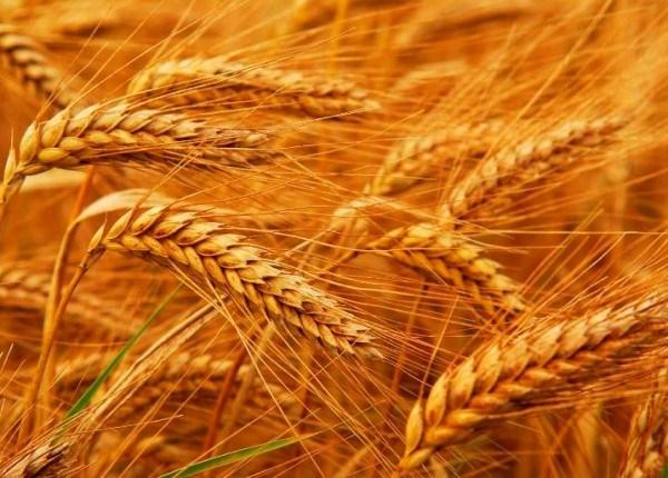 În anul curent este prognozată o roadă mai mică de grâu şi floarea-soarelui