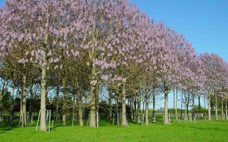 Paulownia – copacul minunii sau al minciunii?