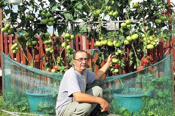 Pomul care face roșii: Un soi aparte de tomate crește ca un arbore din care se culeg apoi fructele zemoase