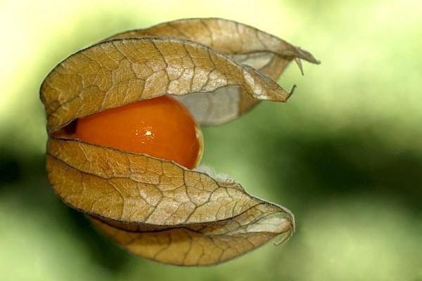 Cireșele de pământ – o adevărată bombă de vitamina C