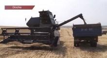 VIDEO. Recoltă de cereale cu până la 35 la sută mai mică la Drochia