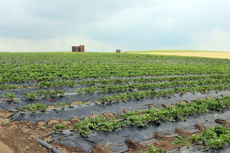 Pe terenul unde cresc căpşunile este instalat un sistem de irigare prin picurare // FOTO: unghiul.info