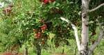 MAIA: Datoriile pentru compensaţii la fructe au fost achitate integral
