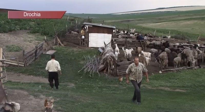 VIDEO. Seceta lovește dur în crescătorii de animale de la Drochia
