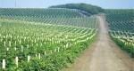 """Combinatul """"Cricova"""" își va extinde plantațiile de viță de vie până la 1 mie de hectare"""