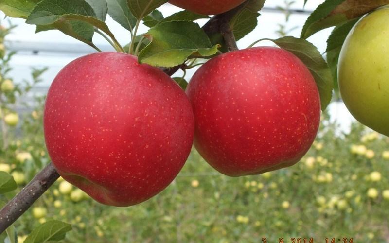 Cea mai mică recoltă de mere din ultimii cinci ani. VEZI prognozele experților