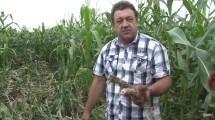 VIDEO. Hectare întregi de porumb au fost distruse de mistreți