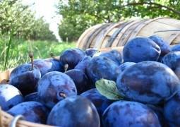 ACED organizează Forumul regional al producătorilor și procesatorilor de prune