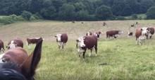 VIDEO. Danemarca: Cum reacționează o cireadă de vaci când fermierii le cântă din goarnă
