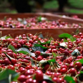 AIPA a acordat companiei Standart Vin Plus 4 milioane de lei pentru o linie inexistentă de sortare a cireșelor
