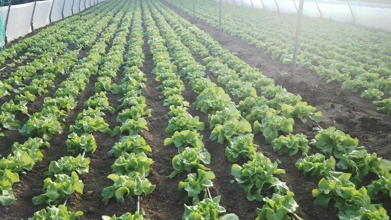 Irigarea prin picurare a plantelor legumicole. Recomandările și sfaturile specialiștilor