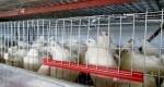 Afacere cu prepelițe: A investit un milion de lei, acum livrează în zeci de magazine și restaurante din Cahul