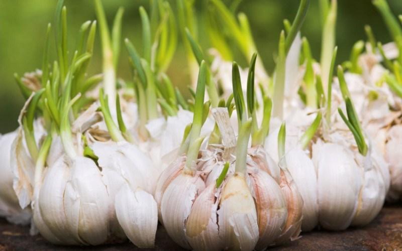Inițierea unei afaceri cu usturoi: Sfaturi utile și mici secrete de știut