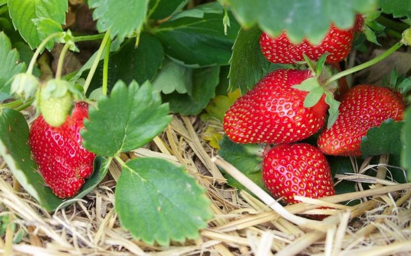 Soiuri de căpșuni care rodesc tot anul