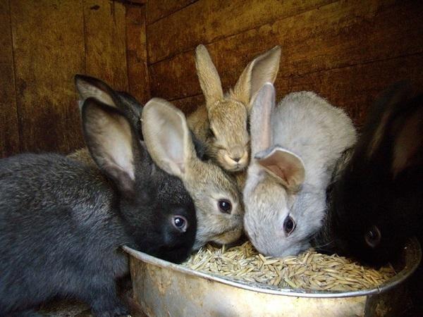Rolul cerealelor în alimentația iepurilor de casă: Sfaturi pentru o dietă echilibrată