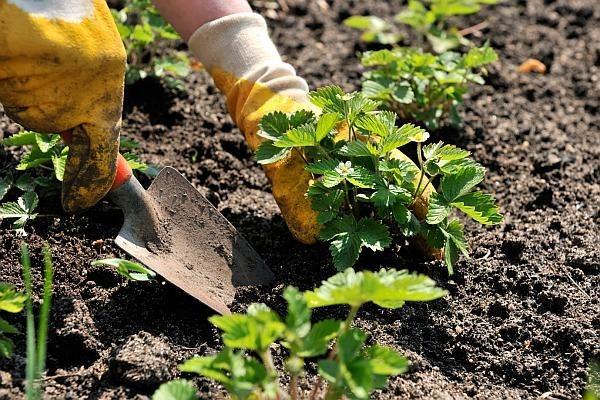 Plantarea corectă a căpșunului – sfaturi utile de la specialiști pentru o cultură reușită