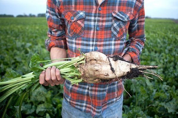 Prognoze optimiste pentru acest sezon privind recolta de sfeclă de zahăr