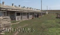 VIDEO. Ce planuri de viitor au proprietarii fermei de porci din Cușmirca