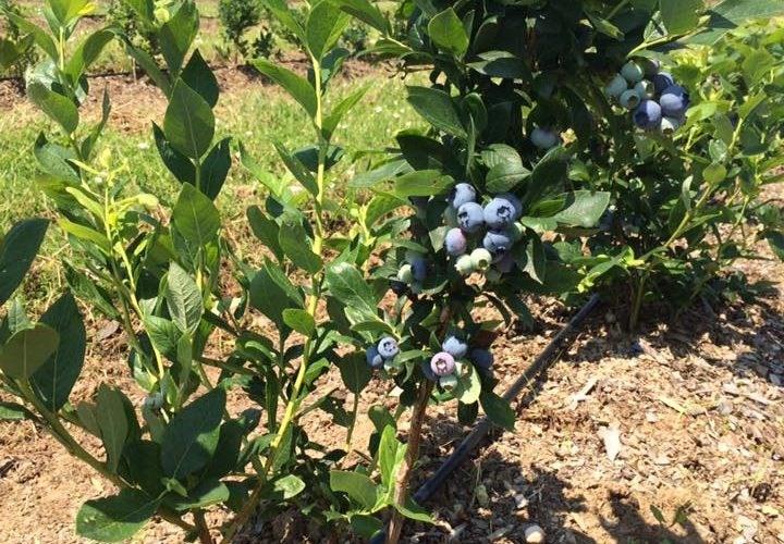"""Primele afine moldovenești sunt crescute pe pământ """"importat"""" din Belarus"""