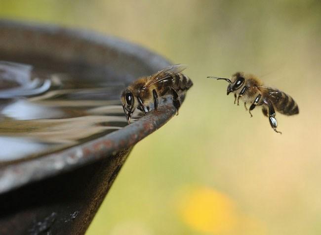 Câtă apă trebuie să le dăm albinelor pe timpul verii și nu numai
