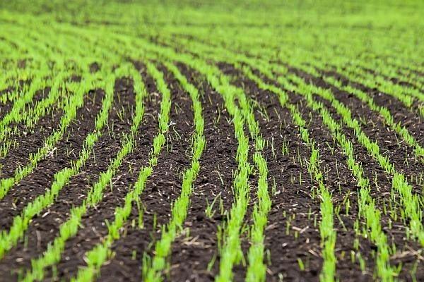 Gaucho Plus – insecticidul Bayer CropScience pentru tratarea semințelor de cereale