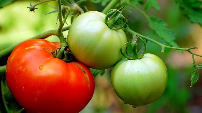 Cum grăbim coacerea roșiilor în mod natural, fără a folosi chimicale