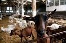 Armata Naţională şi-a scos la vânzare o turmă de capre din zona poligonului militar de la Bulboaca
