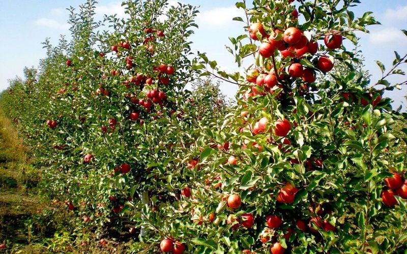 Sfaturi pentru recoltarea corectă a merelor
