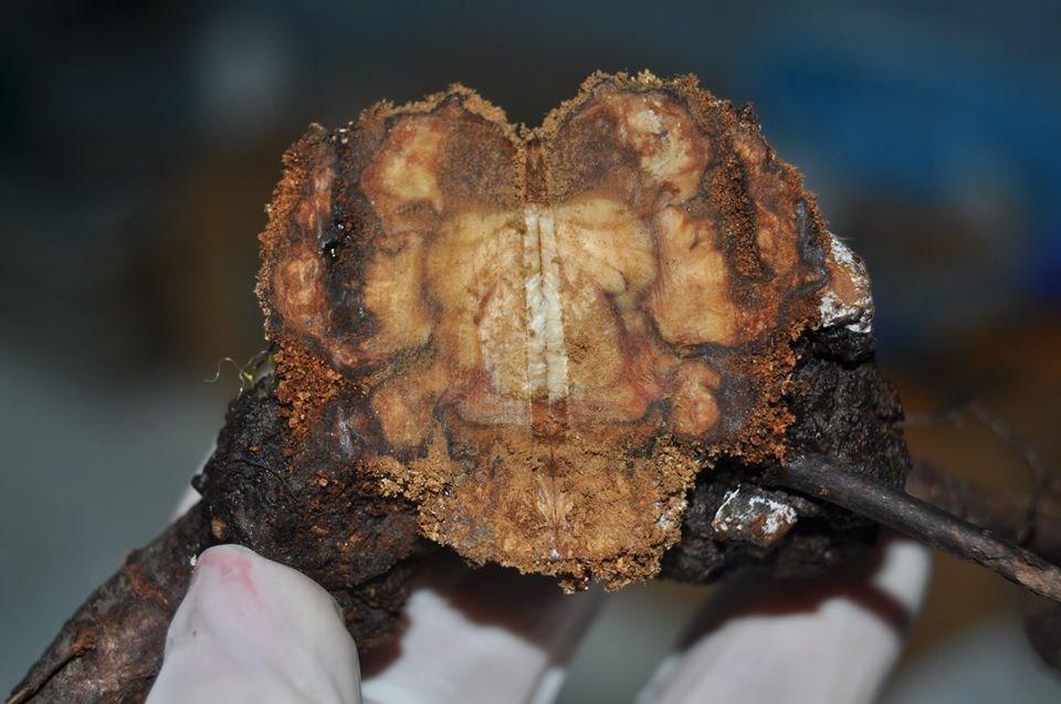 Cancerul bacterian la prun. Cancerul Bacterian, Pomi