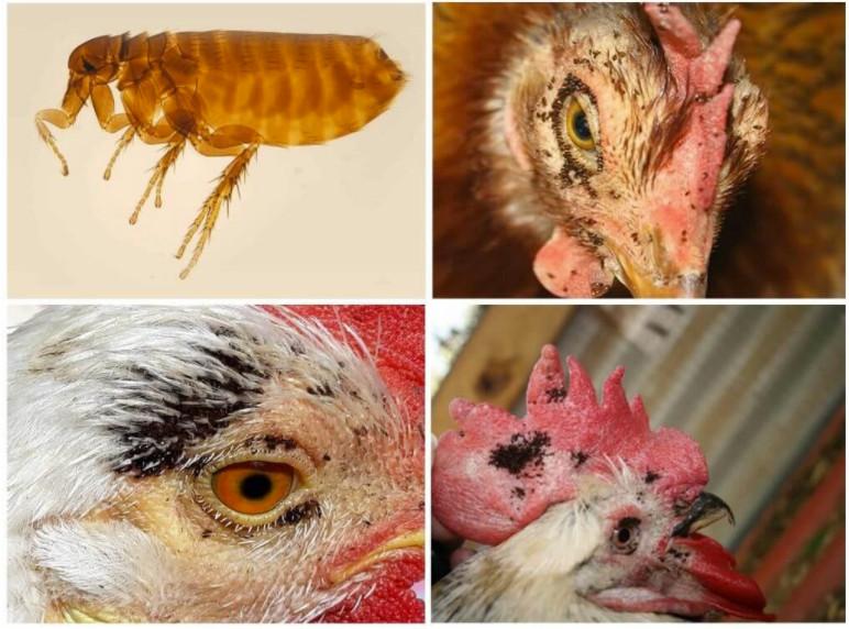 bolile de păsări cu infestarea insectelor)